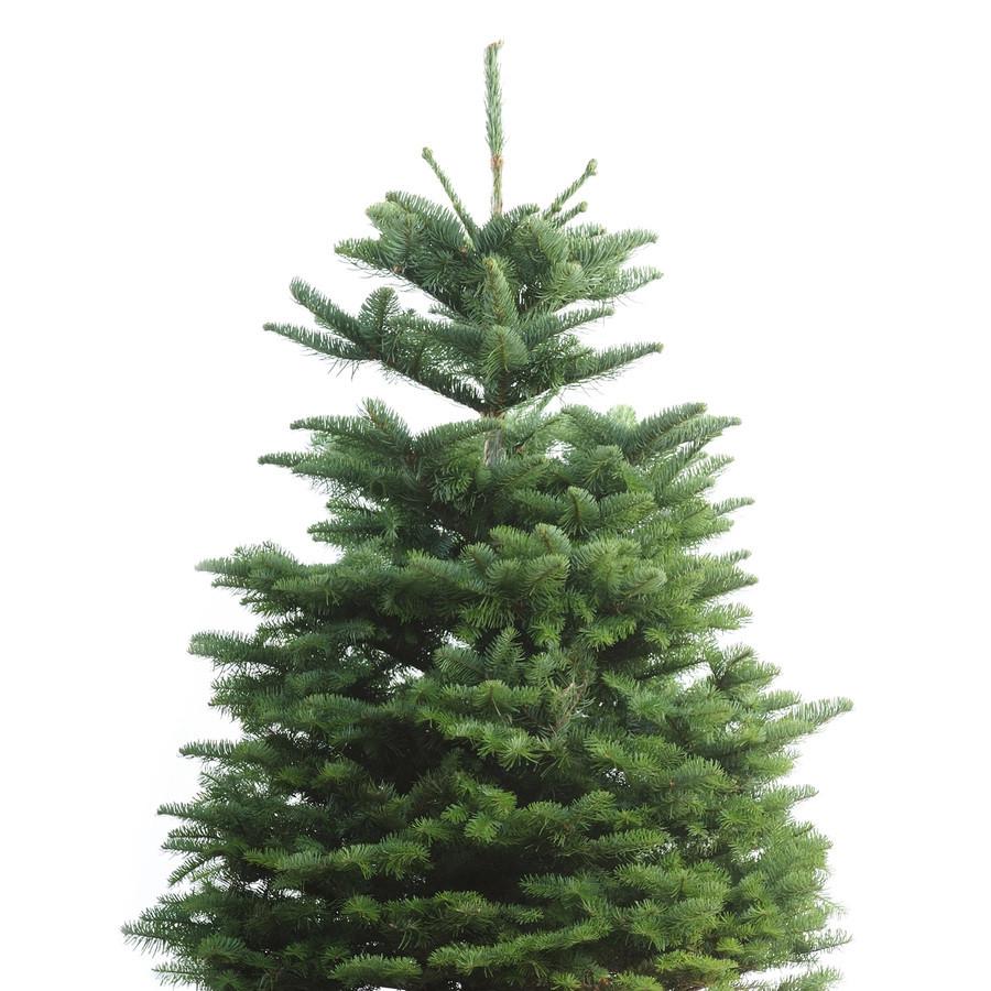 3-5-ft Fresh Noble Fir Christmas Tree