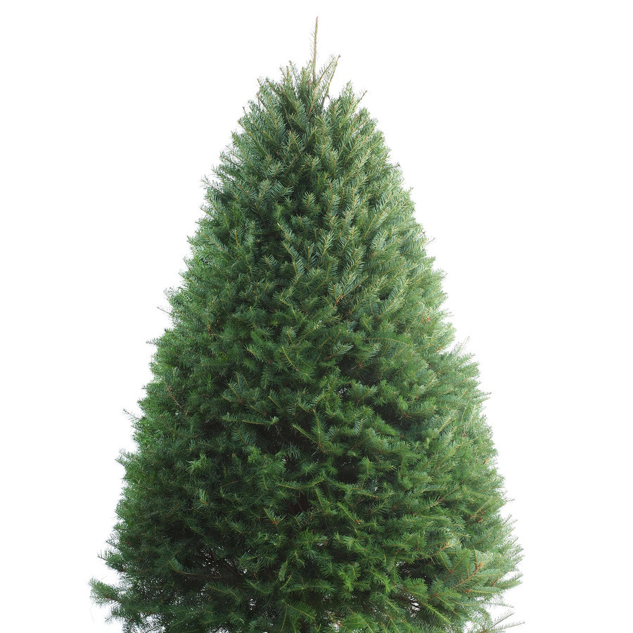 5-6-ft Fresh Douglas Fir Christmas Tree