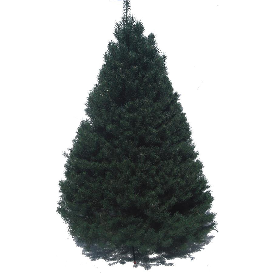6-7-ft Fresh Scotch Pine Christmas Tree