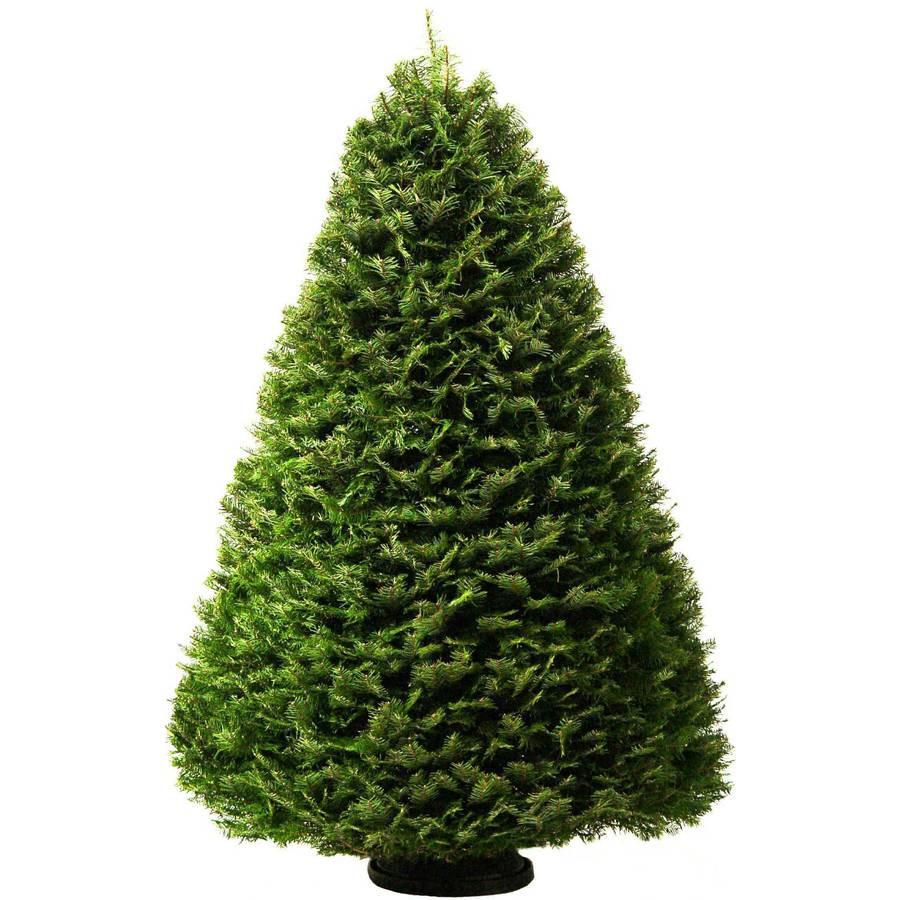 7-8-ft Fresh Grand Fir Christmas Tree
