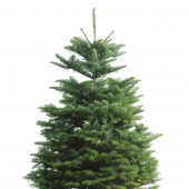 3-5-ft Fresh Noble Fir Christmas Tree