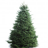 5-6-ft Fresh Noble Fir Christmas Tree