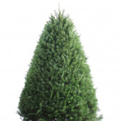 6-7-ft Fresh Douglas Fir Christmas Tree