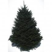 6-8-ft Fresh Balsam Fir Christmas Tree