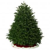 7-8-ft Fresh Nordmann Fir Christmas Tree
