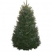 8-9-ft Fresh Fraser Fir Christmas Tree